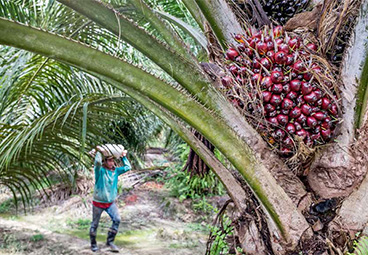 Current practices and innovations in smallholder palm oil finance in Indonesia and Malaysia