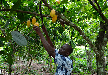 Forest Friendly Cocoa in Cote d'Ivoire