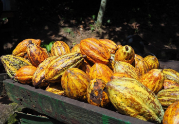 Sustainable Cocoa Production in the Amazon