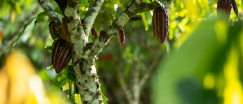News: An agreement on cocoa, forests and biodiversity for a chocolate with a future
