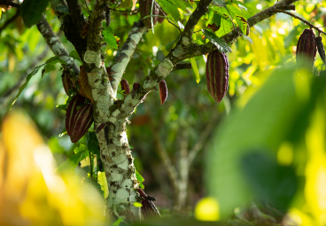 Press Release: Peru's Coalition for a Sustainable Production scopes out new sustainable cocoa initiative
